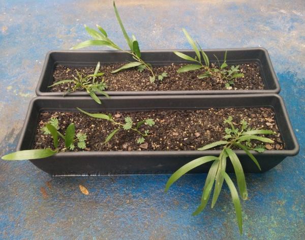 Acacia Longifolia Subsp Sophorae Dmt Nexus Wiki